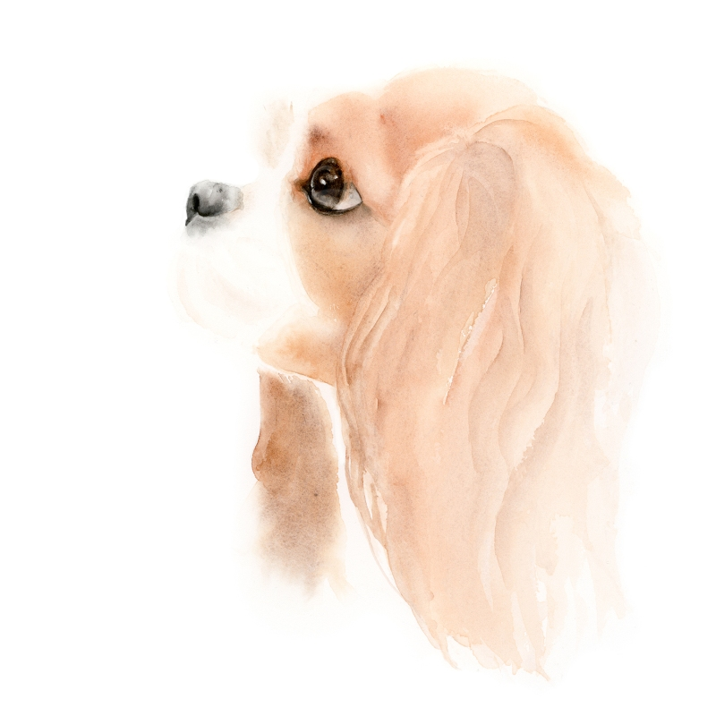 watercolor dog portrait, cocker spaniel